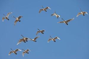 Week in wildlife:  Swans stop off in Fjärås