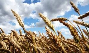 wheat field in Suffolk