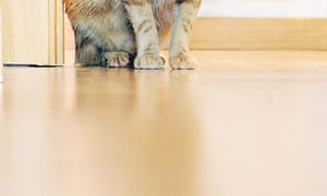 Picture of a cat's paws on a shiny wooden floor