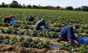 Migrant workers pick strawberries