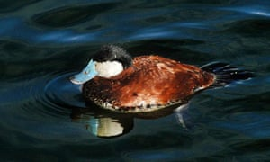 Ruddy duck on a lake at the Wetlands Trust