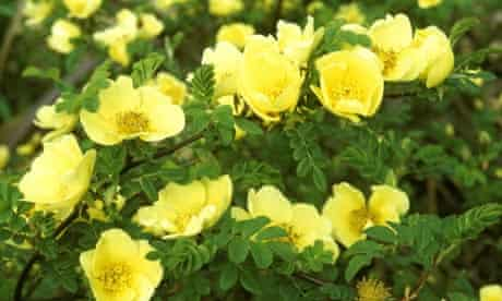 Plant of the week: Rosa 'Canary Bird'
