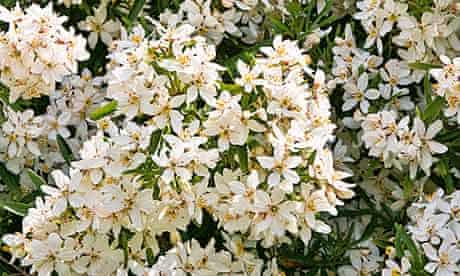 Mexican Orange Blossom (Choisya Aztec Pearl) flowers Adel West Yorkshire UK Europe May