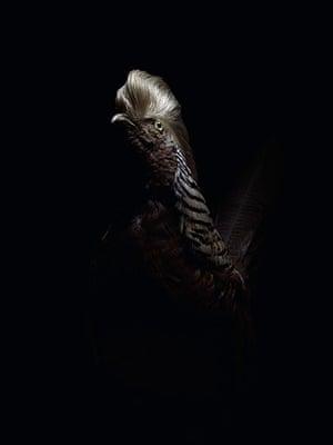 Big Picture: Big Picture: a golden pheasant