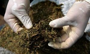 cannabis spain rasquera