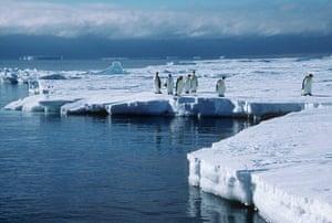 Emperor penguin survey: Emperor penguin  on the Brunt Ice Shelf