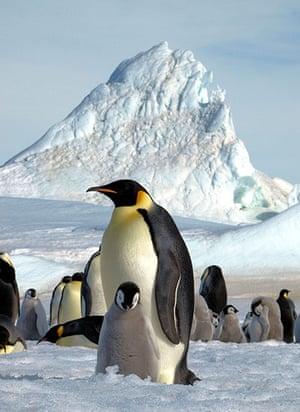 Emperor penguin survey: Emperor penguin and chick