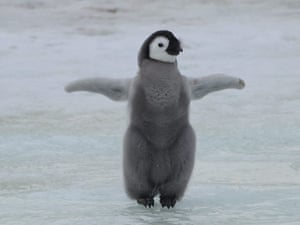 Emperor penguin survey: Emperor penguin chick