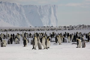 Emperor penguin survey: Emperor penguins on the sea ice close to Halley Research Station