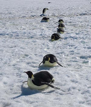 Emperor penguin survey: Emperors moving along on their bellies