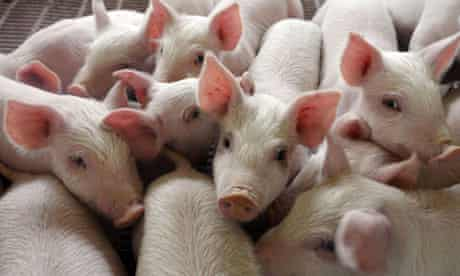 A pig farm in Changzhi, Shanxi province, China
