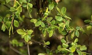 Blackthorn leaves