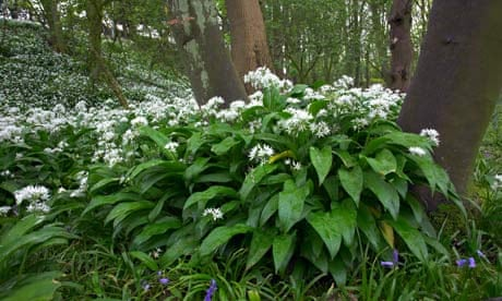Image result for picking wild garlic