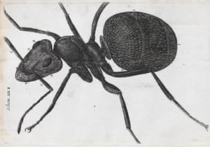 The Royal Society:  a microscopic view of an ant from Robert Hooke