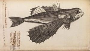 The Royal Society: Study of a flying fish from De historia piscium libri quatuor