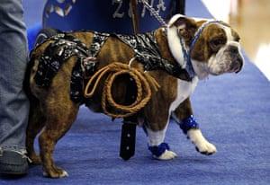 33rd bulldog contest :  33rd annual Drake Relays Beautiful Bulldog Contest