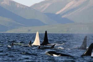 Week in wildlife: An albino killer whale nicknamed Iceberg