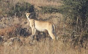 Week in wildlife: A spotless adult cheetah