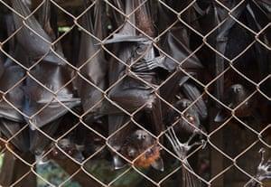 Week in wildlife: Fruits bats for sale in  Medan, Sumatra, Indonesia