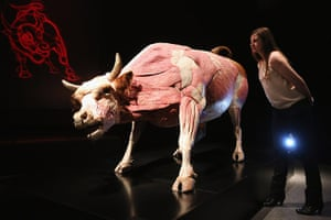 Animal Inside Out: A plastinated bull