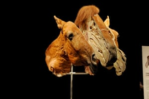 Animal Inside Out: A horses head sliced into sections