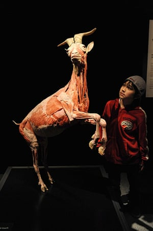 Animal Inside Out: A plastinated goat