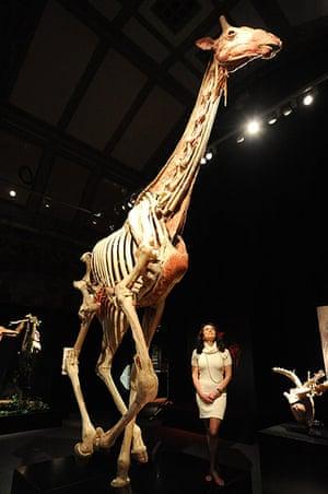 Animal Inside Out: A plastinated giraffe