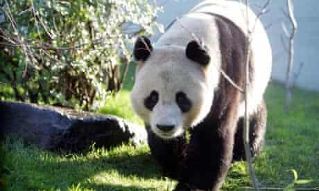 Giant panda Yang Guang at Edinburgh zoo, where it is hoped he will mate with Tian Tian