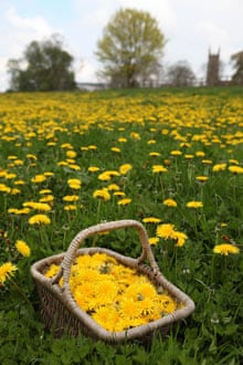 Collecting dandelion flowers for winemaking