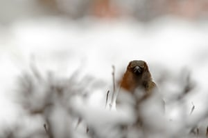 24 hours: Moscow, Russia: A sparrow sits in snow-covered bushes