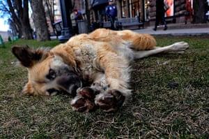 24 hours: Kiev, Ukraine: A stray dog stretches in the grass