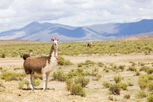 Bolivia travel: Alpaca roam the Eduardo National Park
