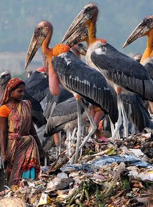 Week in Wildlife: Greater Adjutant Storks at a dump in Guwahati