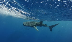 Week in Wildlife: Swimming with whale sharks tour at Ningaloo Reef Marine Park,  Australia
