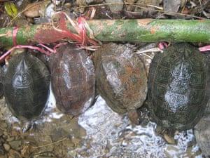 Week in Wildlife: Oldham's leaf turtles, or Cyclemys oldhamii, confiscated