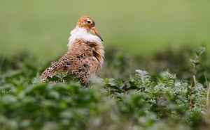 Week in Wildlife: Ruff is seen at the bank of the Pripiat river, in the town of Turov