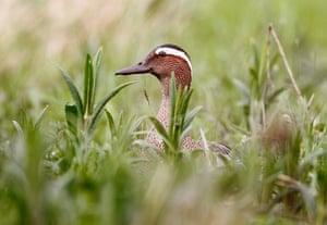 Week in Wildlife: Garganey is seen at the bank of the Pripiat river, in the town of Turov