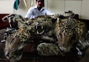 Week in Wildlife: Leopard Skins Recovered From Poacher In India
