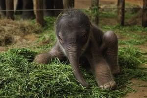 Week in Wildlife: ***BESTPIX***Two-Day Old Baby Elephant Presented At Berlin Zoo