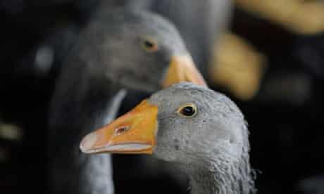 Foie gras geese
