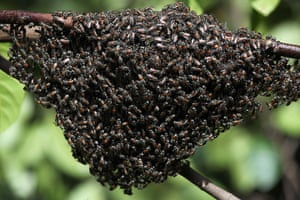 24 hours: Colombo, Sri Lanka: Swarm of bees on a branch
