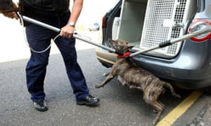 Police dog handlers remove a pitbull during a raid