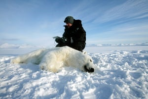 Biodiversity Monitoring: Researcher and a polar bear, Svalbard, Norway