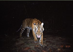 Biodiversity Monitoring: Captured image of a Sumatran tiger, Riau, Indonesia