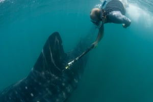 Biodiversity Monitoring: Ta whale shark tagging program