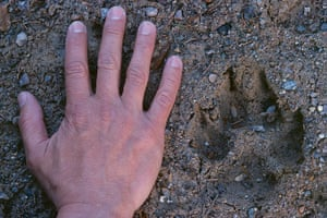 Biodiversity Monitoring: Wolf track and hand, Sweden