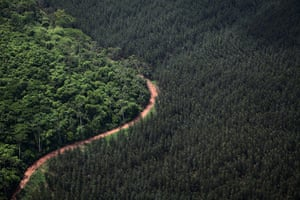 Pig iron in Brazil: Eucalyptus plantation in Açailândia, Maranhão state.