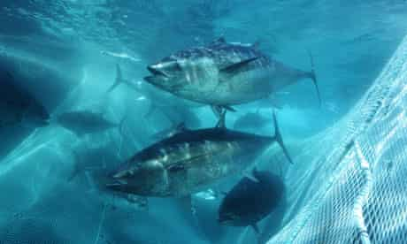 tuna bluefin mexico