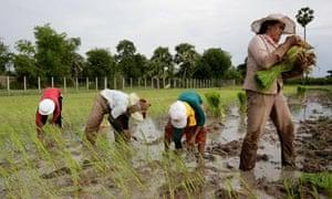 Rice farmers near Phnom Penh, Cambodia