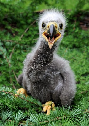 Week in Wildlife: A baby sea eagle sits in a nest at a wild animals park in Eekholt